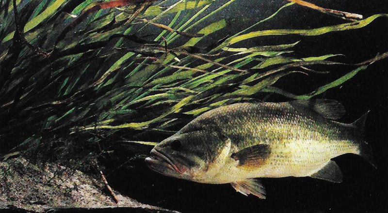 largemouth bass under a rooted weed clump