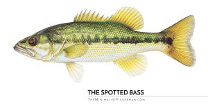 Spotted Bass Illustration