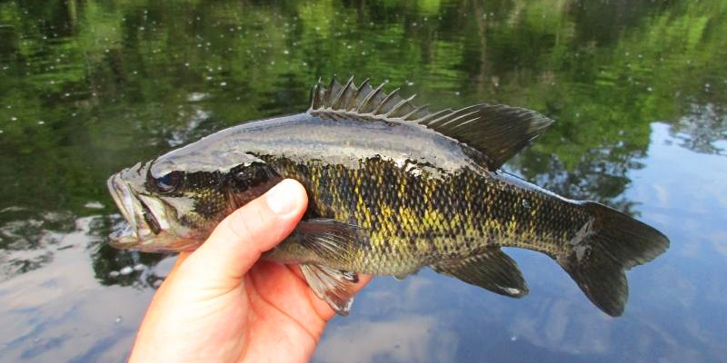 Example of Coloring on a Suwannee Bass