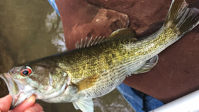 Example Redeye Bass with less Blueish Coloring