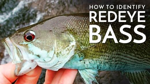 How to Identify Redeye Bass