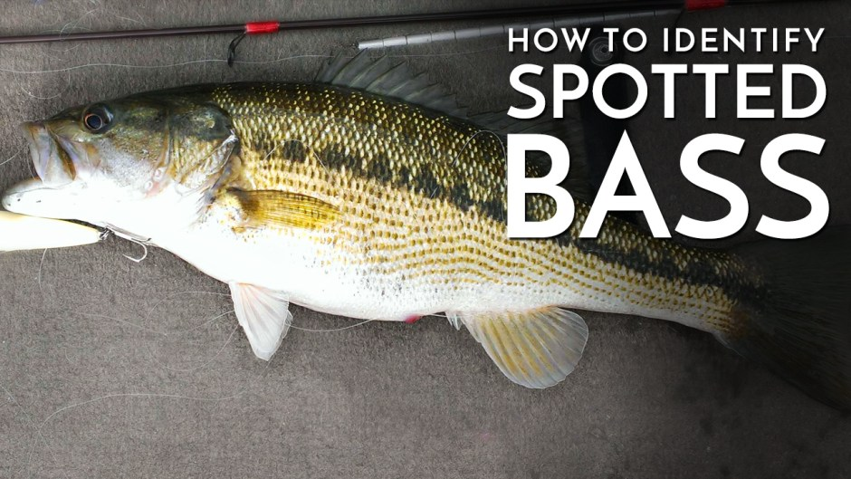 How to Identify Spotted Bass