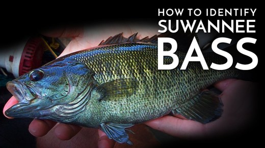 How to Identify Suwannee Bass