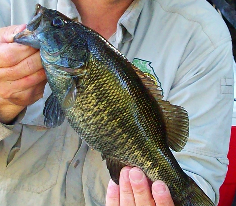 Suwannee Bass Coloring Example