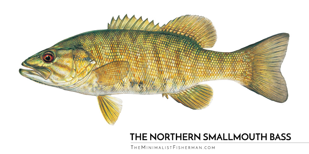 The Northern Smallmouth Bass (Light Coloring)