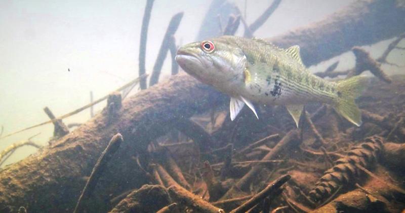 The Bartram's Bass Guarding a Nest