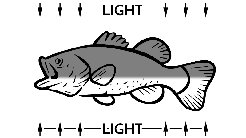 Bass with Proper Countershading and Light from Above and Below