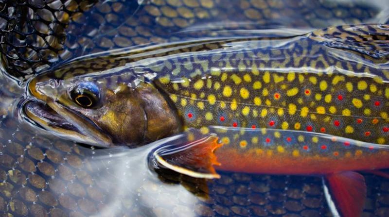 A Beautiful Specimen: The Brook Trout