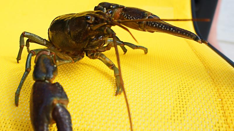 My Pet Crayfish Gus