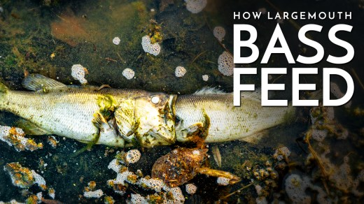 How Largemouth Bass Feed