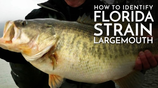 How to Identify Florida Strain Largemouth