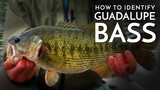 How to Identify Guadalupe Bass