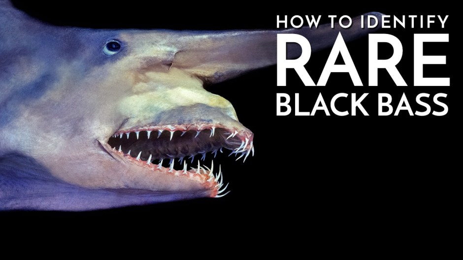 How to Identify Rare Black Bass