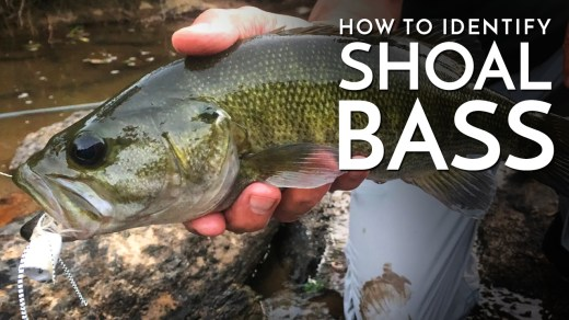 How to Identify Shoal Bass