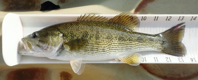 How to identify the Altamaha Bass