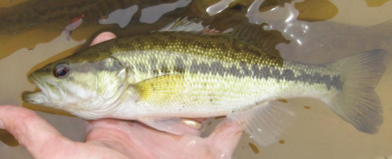 Identifying a Choctaw Bass