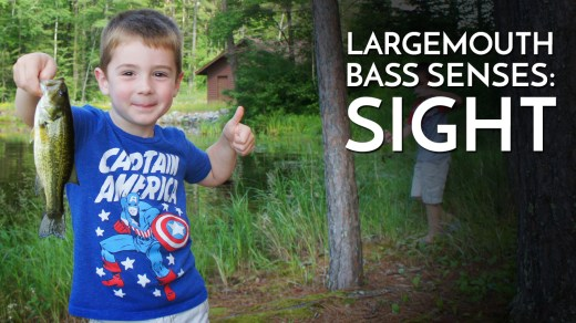 The Senses of a Largemouth Bass: Sight