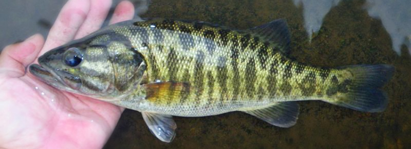 Shoal Bass in a Stream