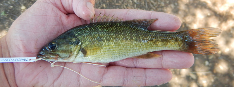 A tiny little Guadalupe bass