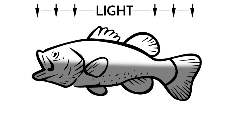 Bass without countershading color example
