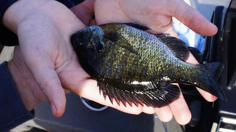 Bluegill Panfish Wisconsin