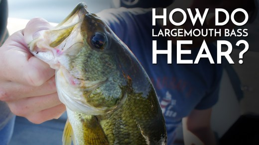 How Do Largemouth Bass Hear?