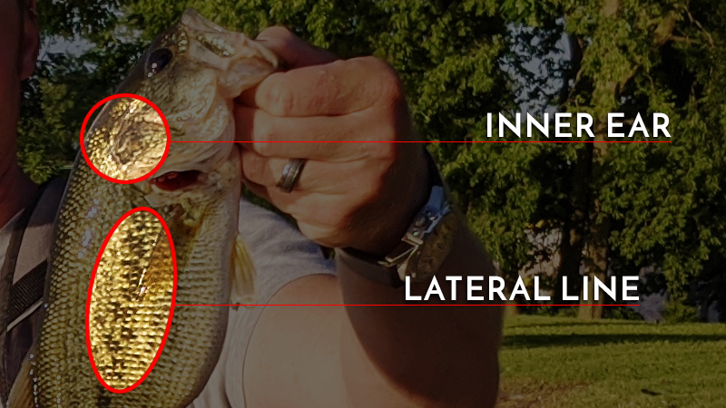 Largemouth Bass Inner Ear Lateral Line Locations