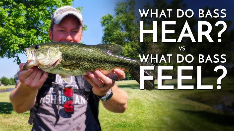 What Do Bass Hear and Feel?