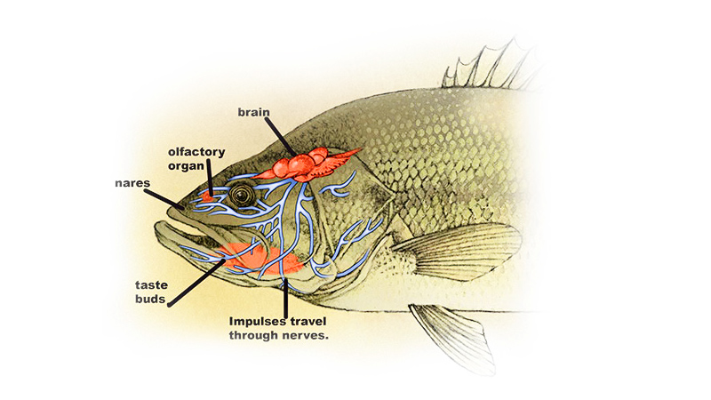 Largemouth Bass Sense of Taste & Smell