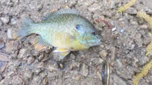 Mule Jig Donkey Tail Green Sunfish Pumpkinseed